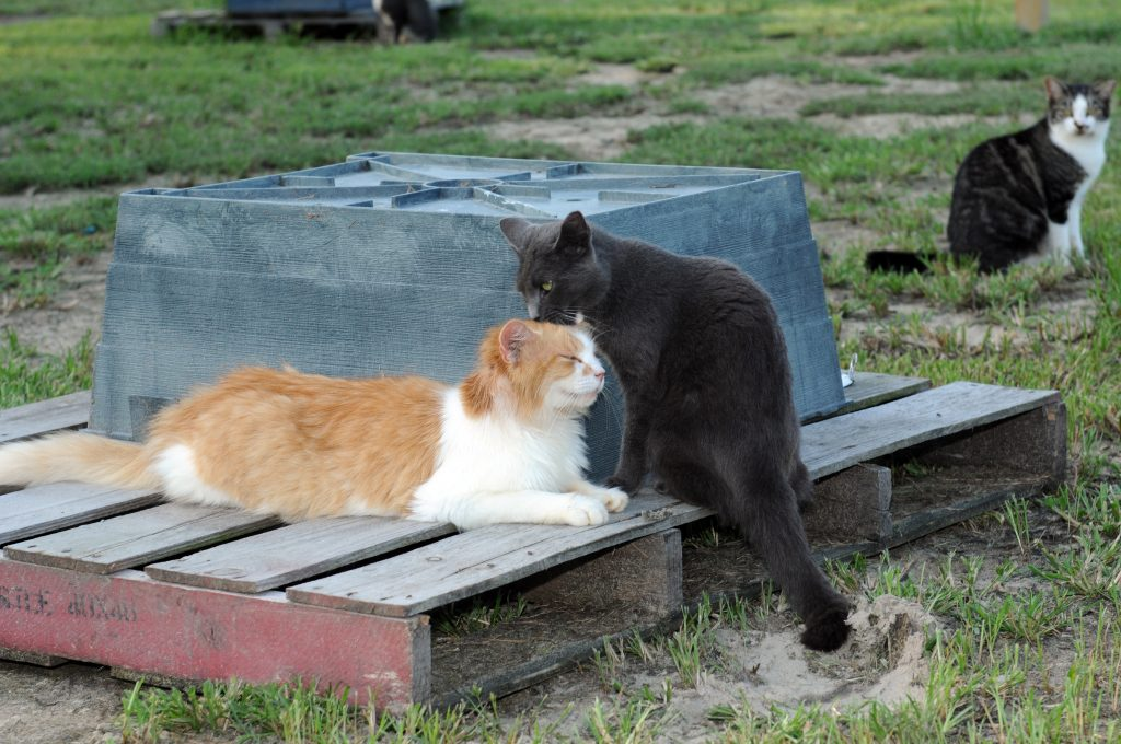Orange and Black Cats
